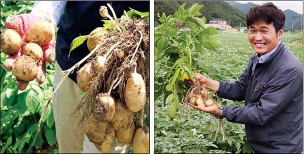 강원 평창에 있는 오리온 감자연구소 감자밭에서 캔 두백 씨감자.  오리온 제공