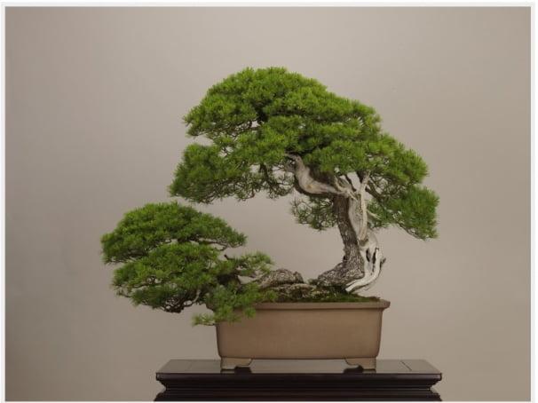 일본에서 가장 유명한 분재로 불리는 '고요마쓰 히구라시(五葉松 日暮し)'는 감정가가 1억2800만엔(약 13억1529만원)에 달하는 수령 450년의 작품이다. (사진재공=오미야분재미술관)