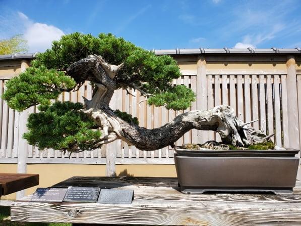 고요마쓰 세이류(五葉松 靑龍)는 일본 총리인 사토 에이사쿠와 그의 친형인 기시 노부스케가 소유해 유명해진 작품이다.  사이타마=정영효 특파원