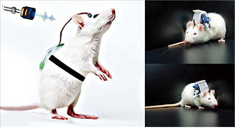뇌졸중으로 온 편마비를 치료하기 위한 무선 저강도 집속 초음파 기기를 착용한 쥐.  한국과학기술연구원