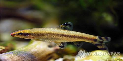 대전 유등천에 멸종위기 감돌고기 1천500마리 방류한다