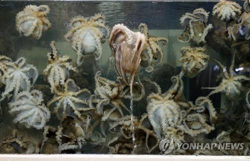 전북 수산기술연구소, 서해안에 새끼 주꾸미 35만마리 방류