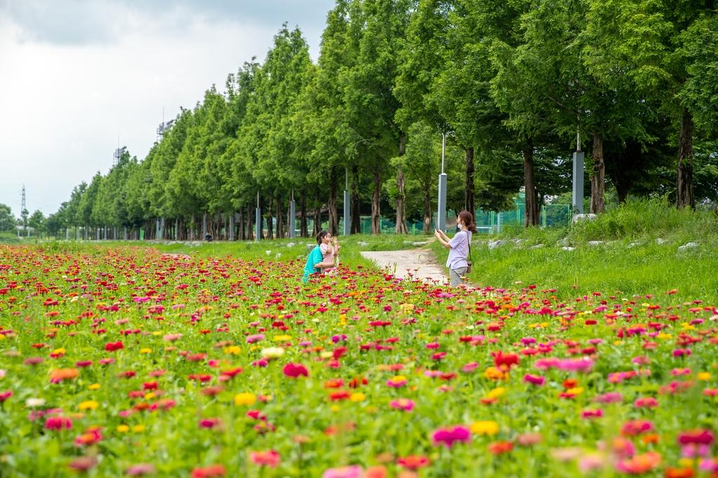 [픽! 증평] 5만 포기 백일홍 만개…보강천 꽃물결