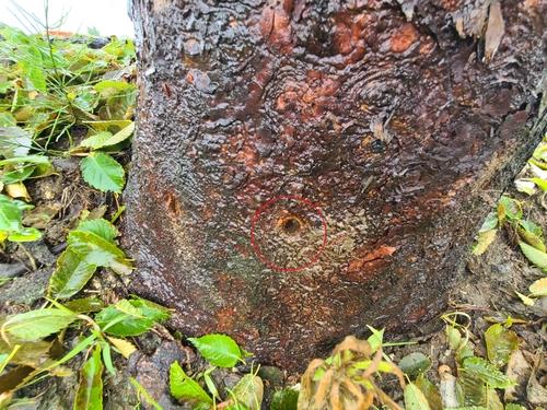 '누가 나무에 구멍을 뚫었을까?'…목격자 없는 전주 수목 훼손(종합)