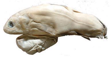 심해의 '살아있는 화석' 실러캔스 수명 100년에 달해