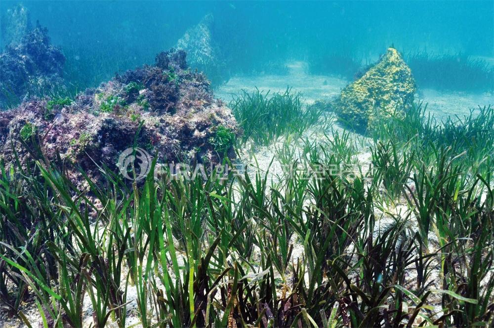 수산자원공단, 바다풀 잘피 종자 배양·이식 성공