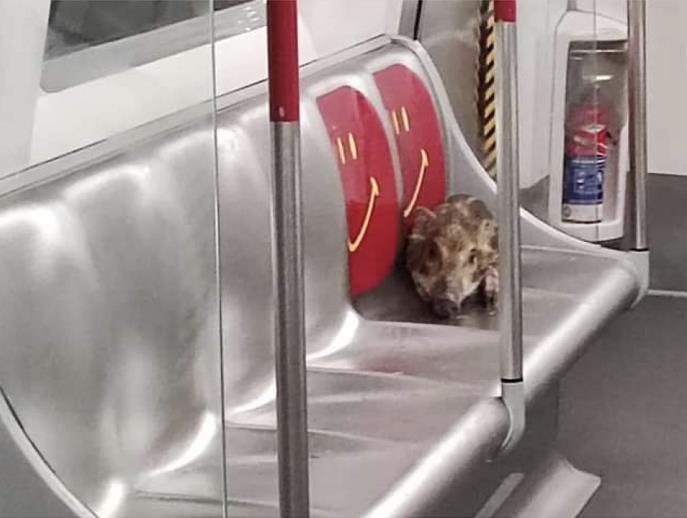 홍콩서 전철 타고 바다 건넌 새끼 멧돼지 화제