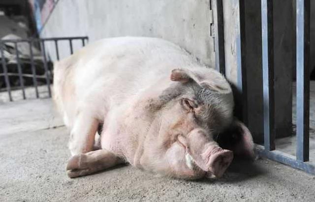 파란만장한 쓰촨 대지진 '영웅 돼지'의 죽음