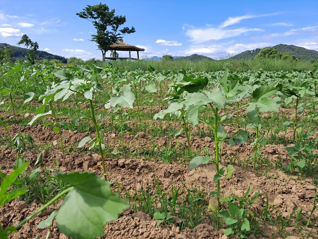 여주 남한강 당남리섬에 친환경 '케나프' 숲 10만㎡ 조성