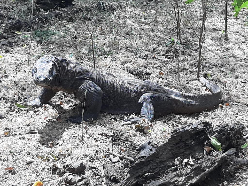 [잘란 잘란] 코로나의 역설…'공룡 후예' 코모도왕도마뱀 늘어