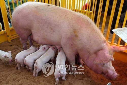 대만 5세 여아 `돼지독감 바이러스` 인간감염 첫 확인