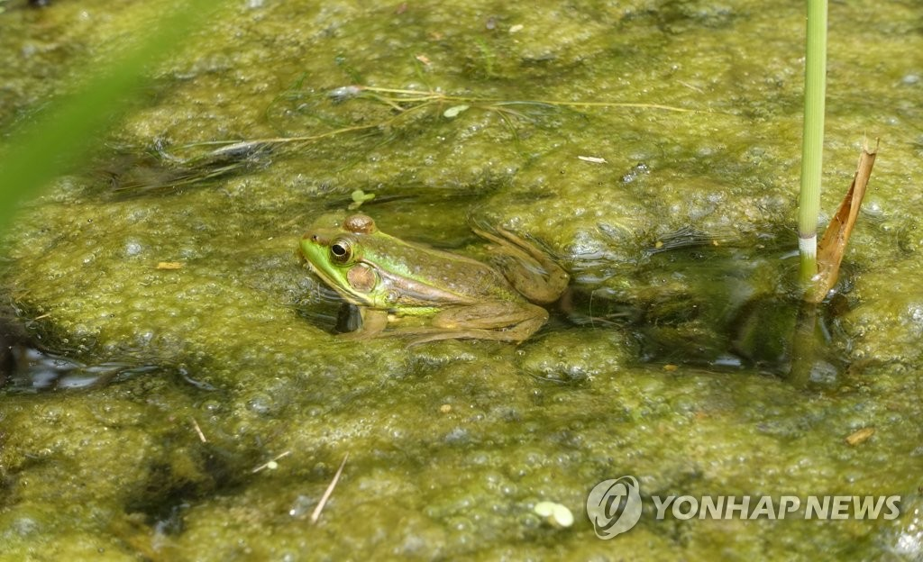 [고침] 지방(군산 수라갯벌서 멸종위기 2급 '금개구리' 집…)