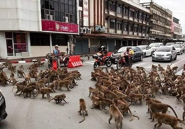 지난주 일요일 태국 롭부리 시내에서 원숭이 무리가 도로 위에서 패싸움을 벌였다/사진=온라인 커뮤니티