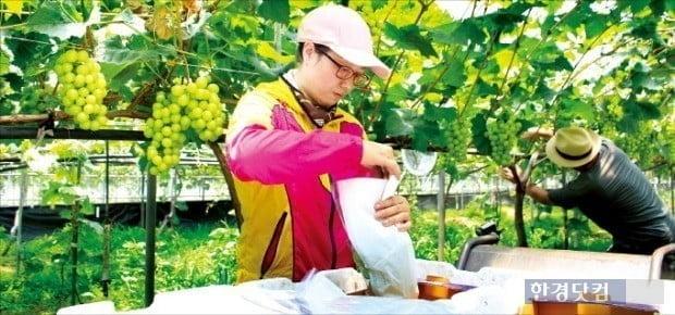 충북 영동의 한 농가가 샤인머스캣을 수확하고 있다. / 사진 = 한경DB