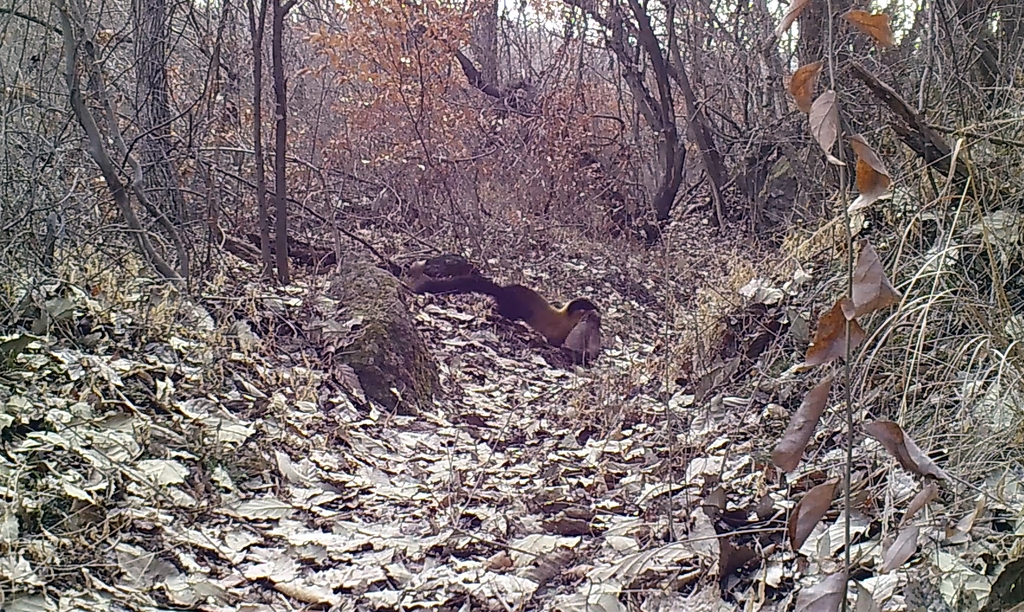 고창 운곡습지서 담비·수달·삵 등 멸종위기 동물 잇따라 포착