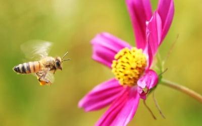 """""""일 잘하네""""…꿀벌이 커피 마시면 벌어지는 일"""