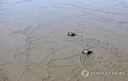 대양서 자라는 바다거북, 플라스틱 쓰레기로 '진화의 덫'에 갇혀