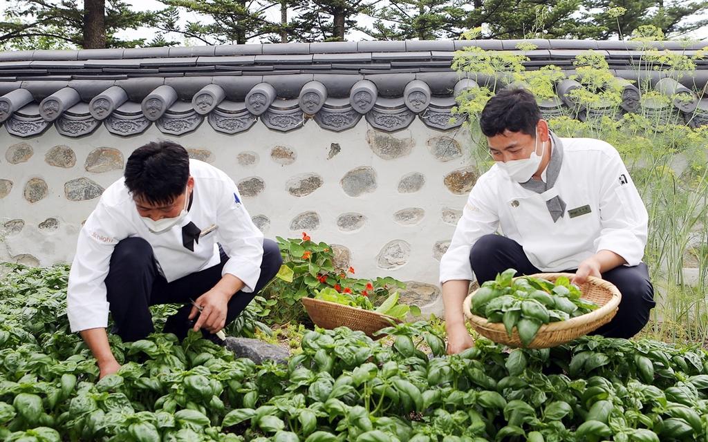 음식 재료 채소 직접 재배하는 하이원리조트 요리사들