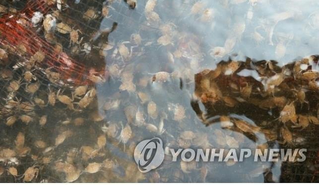 인천 해역 꽃게 생산량 3천200∼4천500t 예상