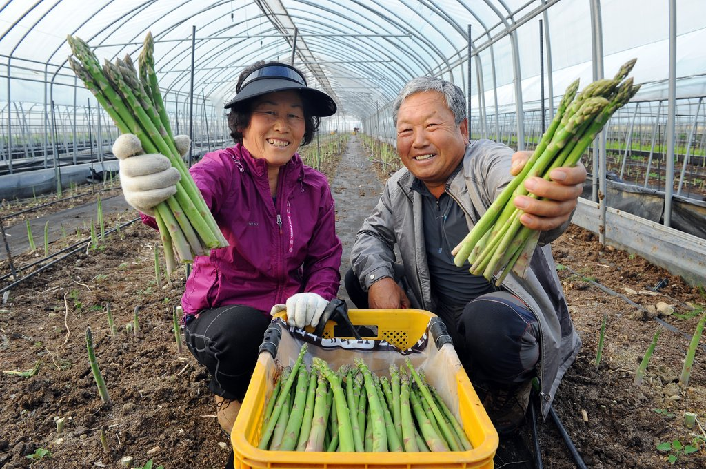[통통 지역경제] '왕의 채소' 아스파라거스, 양구 농가 소득 '쑥쑥'