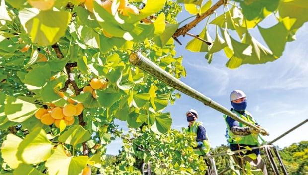 [포토] '악취 주범' 은행나무 열매 채취