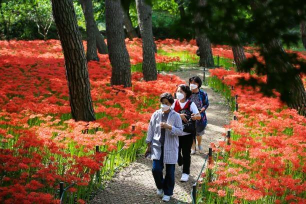 [픽! 보령] 성주산 자연휴양림에 가을 여는 꽃무릇 활짝