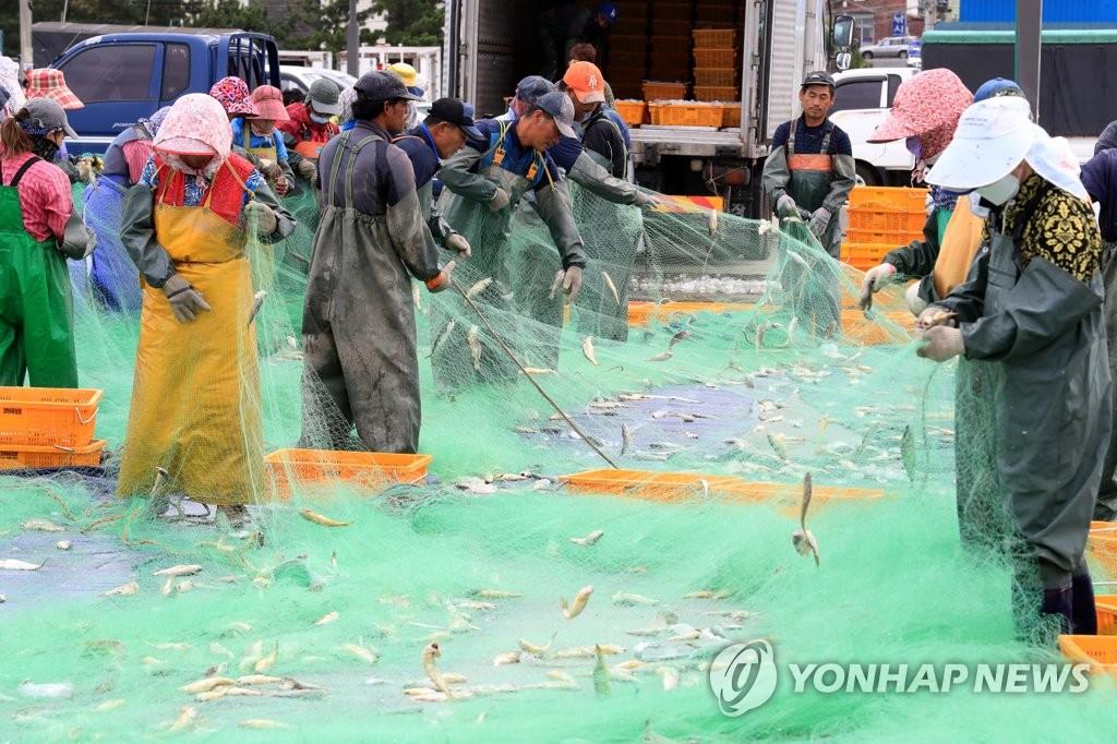 제주 근해 참조기 어장 형성…위판량 26% 증가