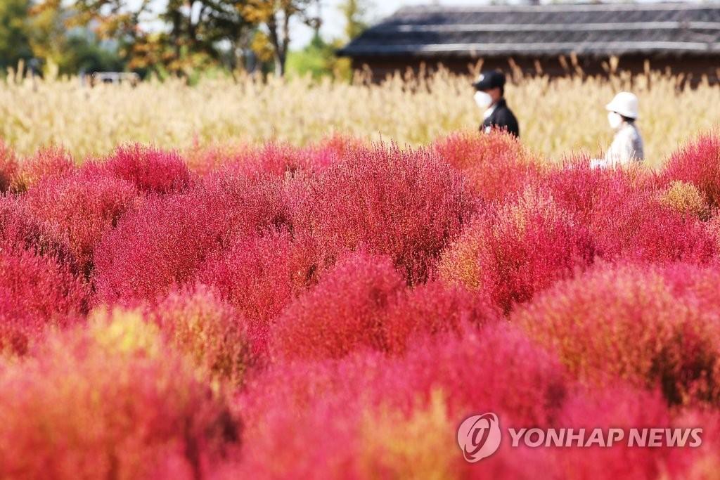 가을 들판 붉게 물들이는 외래식물 '댑싸리'…환경 유해성 없나